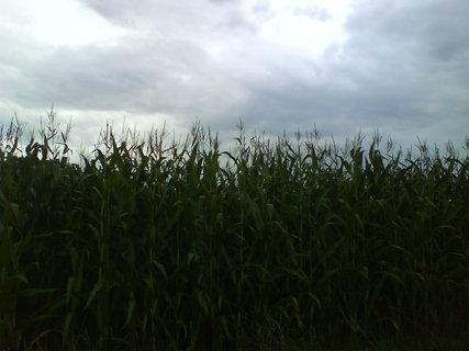 FOTKA - někdy se zdá, že kukuřice roste až do nebes