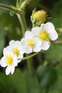 FOTKA - Květy jahodníku III.