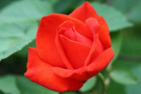 FOTKA - Růže XXIX.