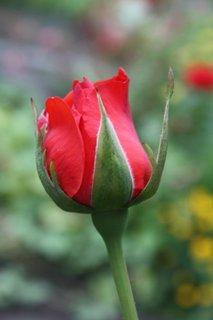 FOTKA - Růže XXX.