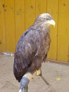 FOTKA - postřehy z jihlavské Zoo   -  orel