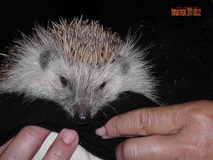 FOTKA - ježek domací