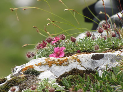 FOTKA - Detail růžových kytiček na skále
