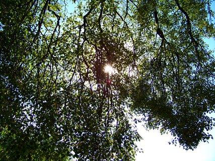 FOTKA - slunce ve větvích staré lípy .,,,