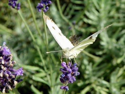 FOTKA - Levandulové motýlkování