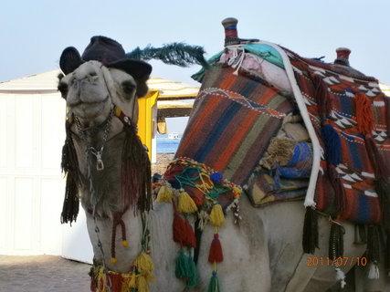 FOTKA - Velbloud - Egypt