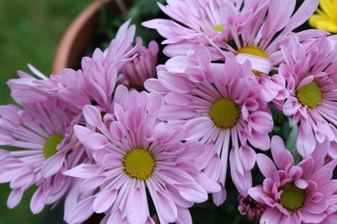 FOTKA - Chryzantéma I.