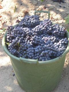 FOTKA - načesaný barel vína