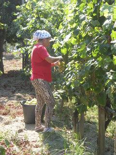 FOTKA - žena sklízí víno z vinohradu