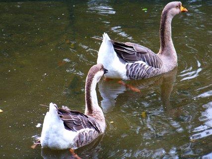 FOTKA - život na rybníce... asi divoké husy