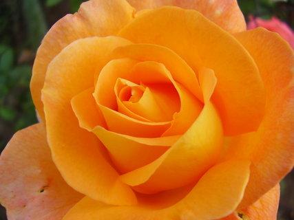 FOTKA - růže   .     ..