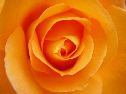 FOTKA - růže    .    ..   ...