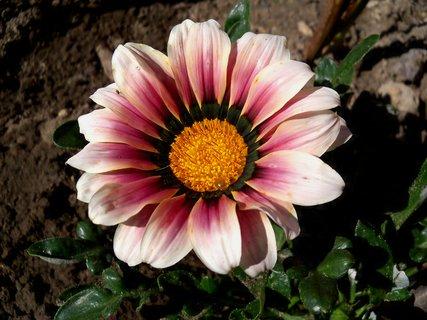 FOTKA - Gazánie stále kvetou