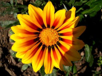 FOTKA - Podzimní barvy gazánie