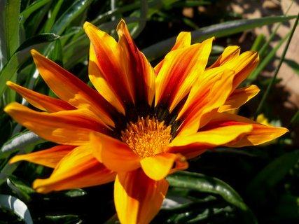 FOTKA - Brevné květy gazánie