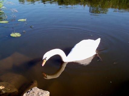 FOTKA - Vzhlížející se labuť