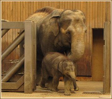 FOTKA - Sloní slečna Rashmi s maminkou