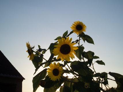FOTKA - Slunečnice  28.9.11