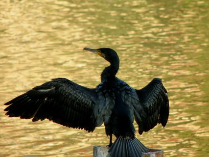 FOTKA - Kormorán si sušil křídla asi ho paní kormoránová po ránu pořádně vykoupala :-))