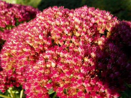 FOTKA - Neznám jméno ale včeličkám tto kytička moc chutná