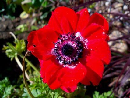 FOTKA - Ozdoba zahrádky -červená sasanka