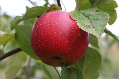 FOTKA - Jablíčka V.