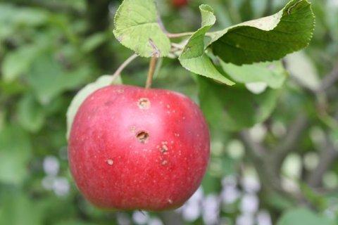 FOTKA - Jablíčka VII.