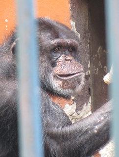 FOTKA - Koukající šimpanz