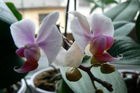 FOTKA - orchidej 14