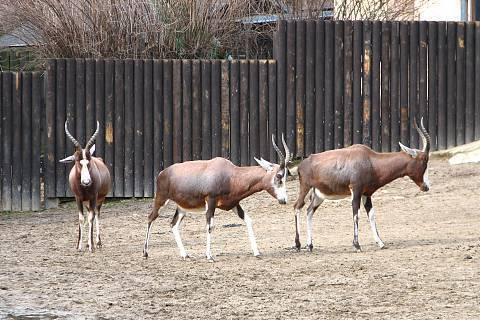 FOTKA - antilopy