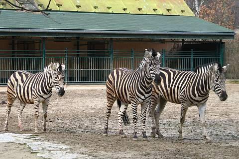 FOTKA - zebry