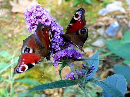FOTKA - Zářijové dovádění motýlů na komuli
