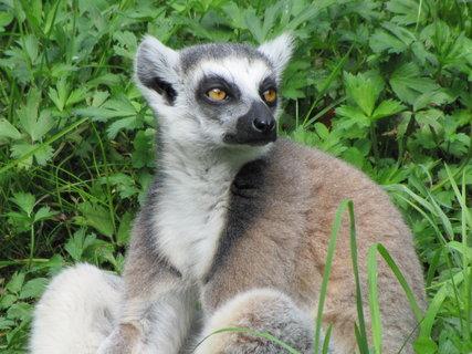 FOTKA - Lemur kata - detail