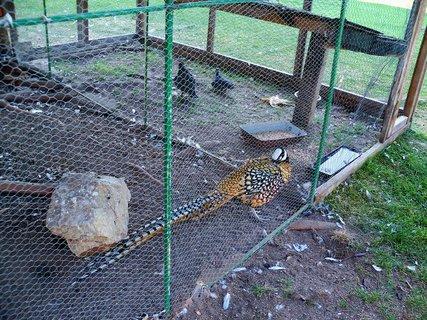 FOTKA - Na hradě Úsov mají spoustu zvířat mezi ně patří i zlatý bažant