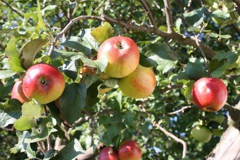 FOTKA - Jablíčka VIII.