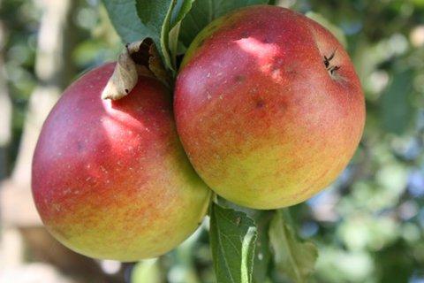 FOTKA - Jablíčka XII.