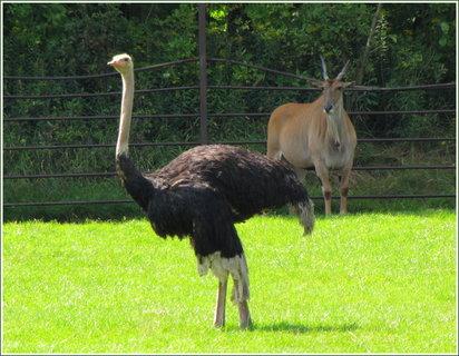 FOTKA - Pštros a antilopa