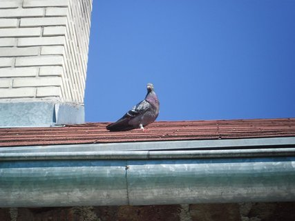 FOTKA - holoubek na střeše