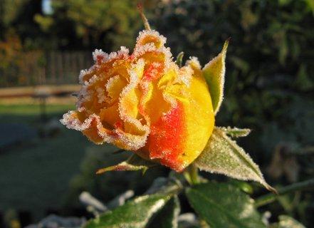 FOTKA - žluté poupě probuzené do mrazivého rána
