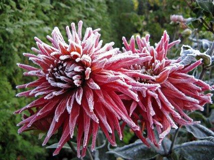 FOTKA - poslední den v květu,poprvé  s mrazivou ozdobou