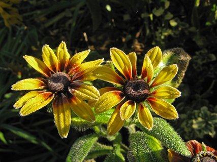 FOTKA - žlutá sluníčka Rudbekií se mrazíku vysmála
