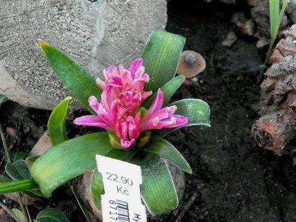 FOTKA - Hyacint si spletl roční období