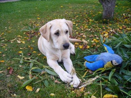 FOTKA - Arník - štěně labradora 5 měsíců