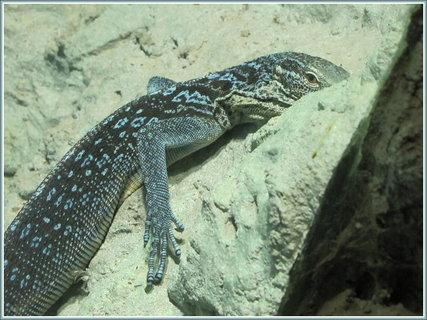 FOTKA - Detail modročerného ještěra