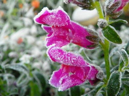 FOTKA - Omrzlý skalkový hledík
