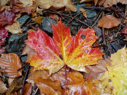 FOTKA - Podzimní javorový list