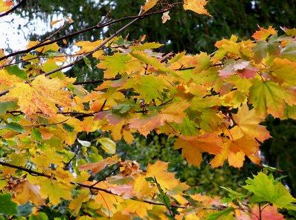 FOTKA - Podzimní javor*