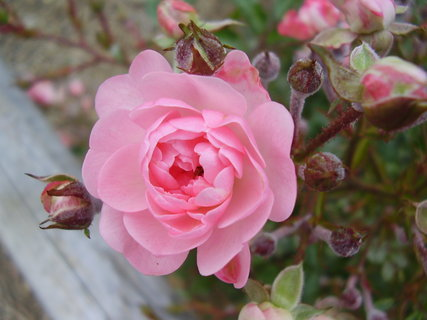 FOTKA - říjnová růžička....