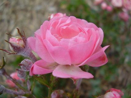 FOTKA - říjnová růžička.....