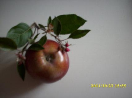 FOTKA - Včera mi muž přinesl ze zahrady jablíčka a kvetoucí větvičku